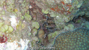 Pair of banded coarl shrimp by Bob Jeannetti 